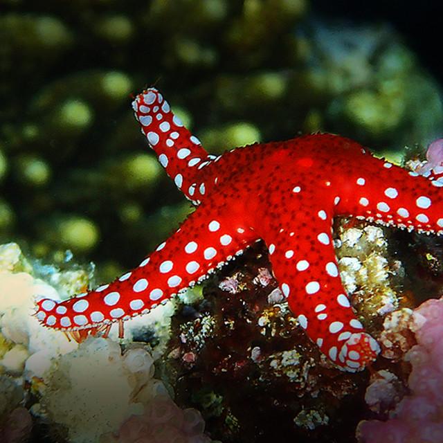 """Starsfish white spotre,"" stock image"