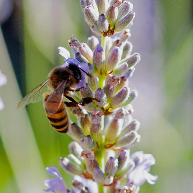 """Honey bee beauty"" stock image"