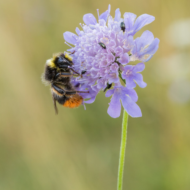 """""""Buff Tailed Bee on Scabious"""" stock image"""