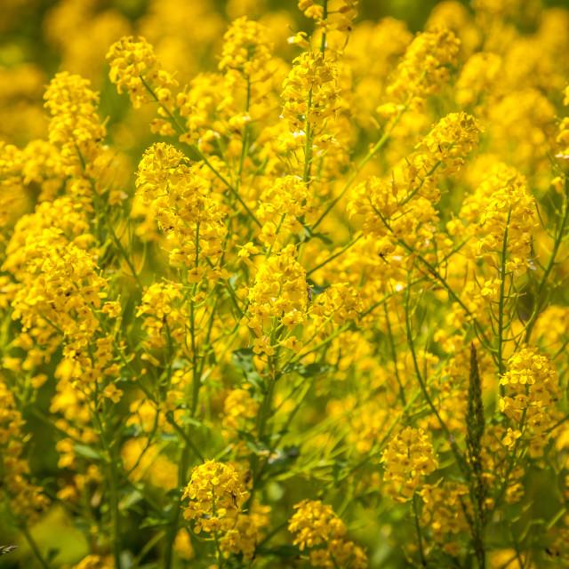 """""""Yellow Wildflowers"""" stock image"""