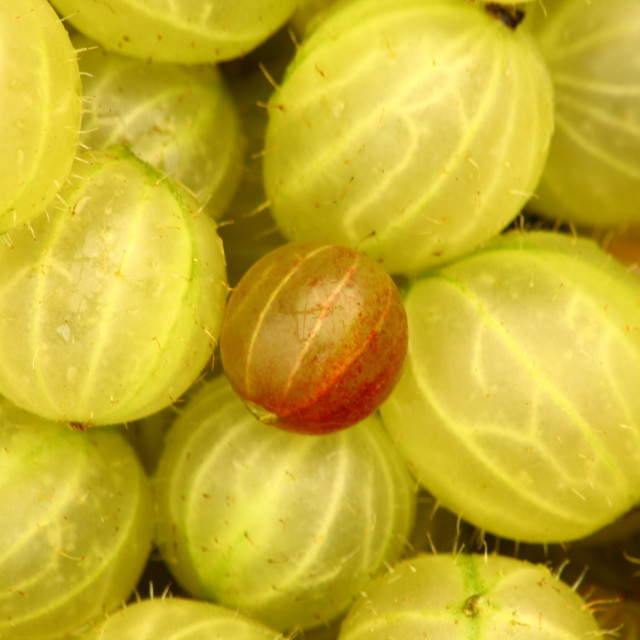 """Gooseberries"" stock image"
