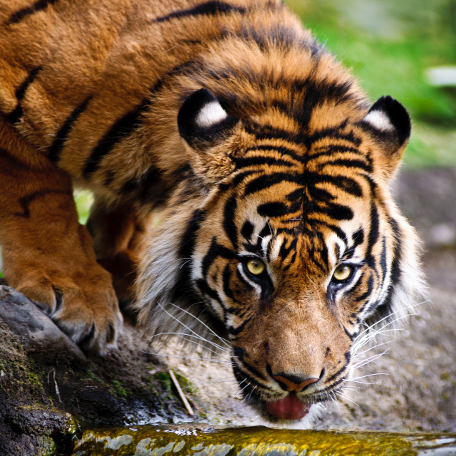 """Thirsty Tiger"" stock image"