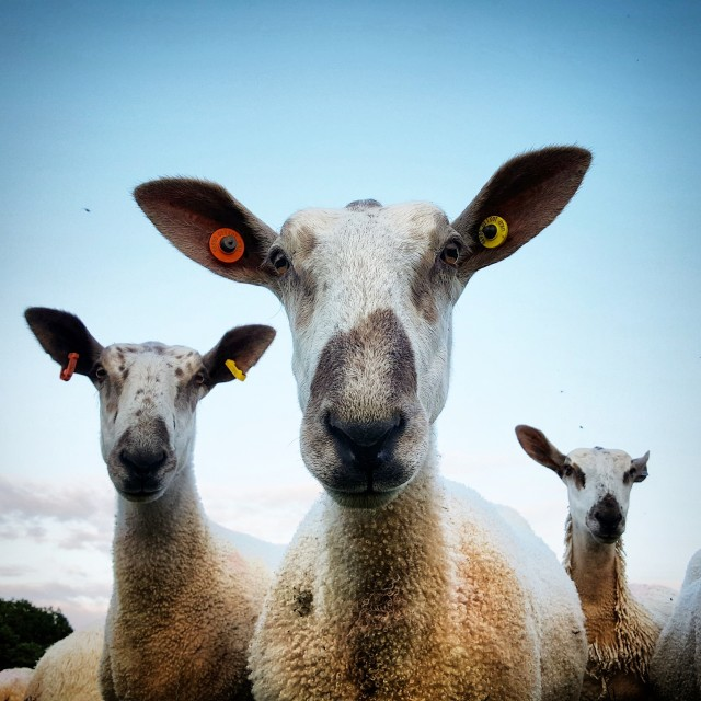 """Curious Young Leicester Sheep"" stock image"