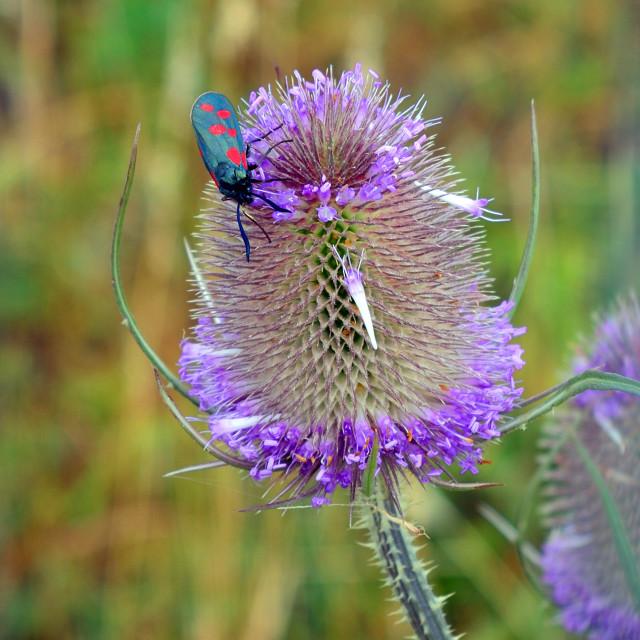 """Cinnabar Moth on a flowering Teasel"" stock image"