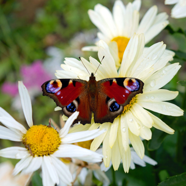 """""""Peacock butterfly"""" stock image"""