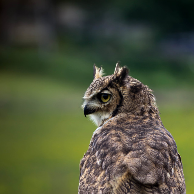 """""""The Watchful Owl"""" stock image"""