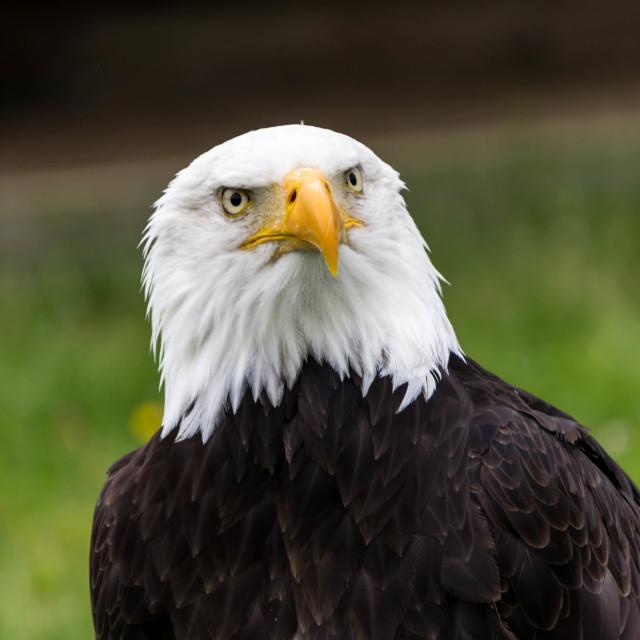 """The Eagle"" stock image"