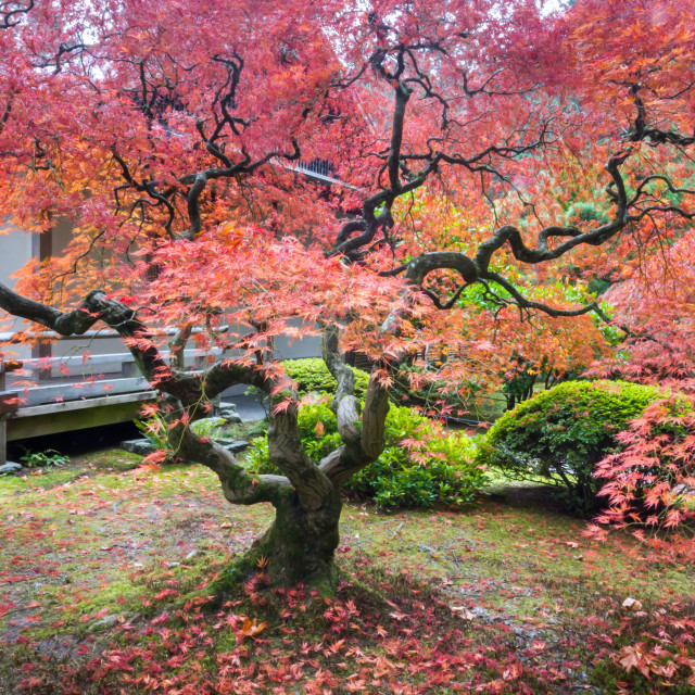 """""""Japanese Maple tree Fall colors"""" stock image"""