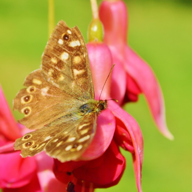"""""""A Speckled Wood Butterfly."""" stock image"""