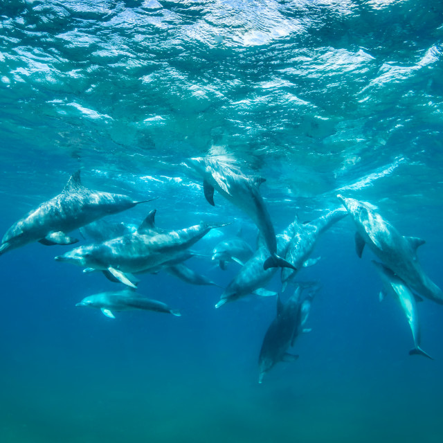 """Bottlenose Dolphins"" stock image"