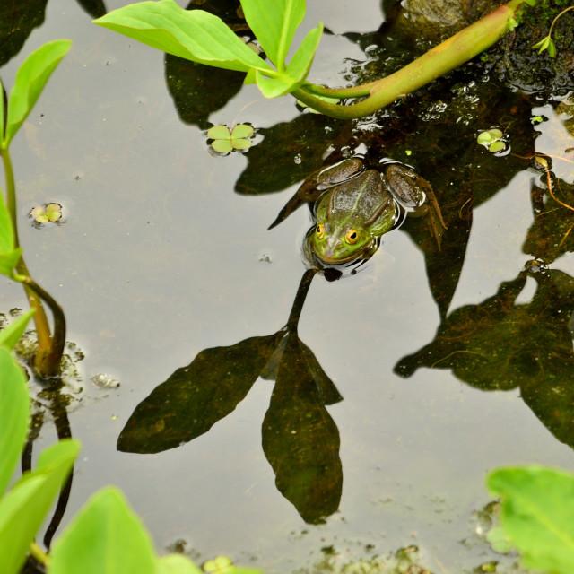"""Good-luck Frog"" stock image"