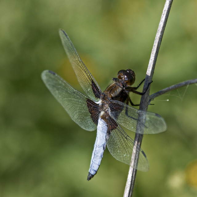 """Dragonfly (Libellula depressa) (I)"" stock image"