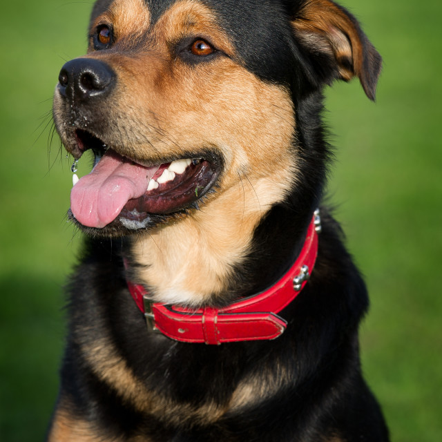 """Beautiful Dog"" stock image"