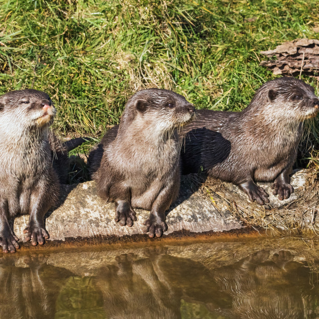 """Three little otters sitting in a row"" stock image"