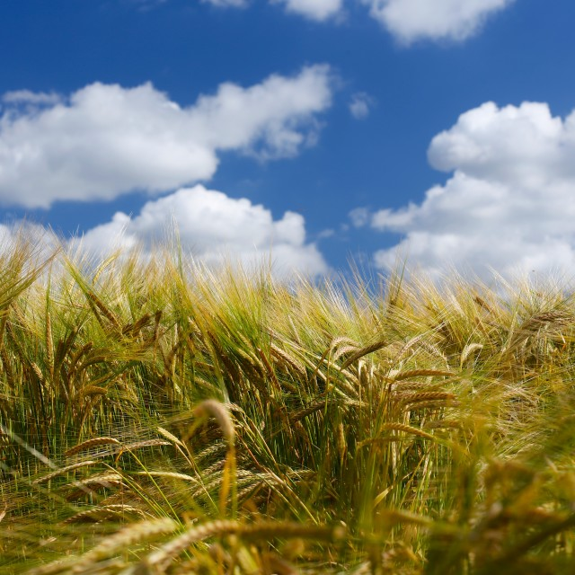 """Soft Barley Field with Blue Sky"" stock image"