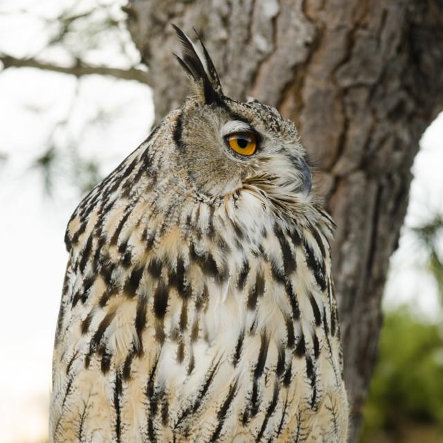 """Eurasian eagle-owl, Bubo Bubo"" stock image"