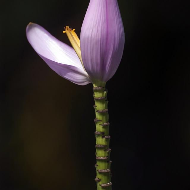 """""""Banana Flower"""" stock image"""