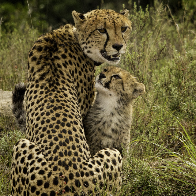 """Mother Cheetah with Cub"" stock image"