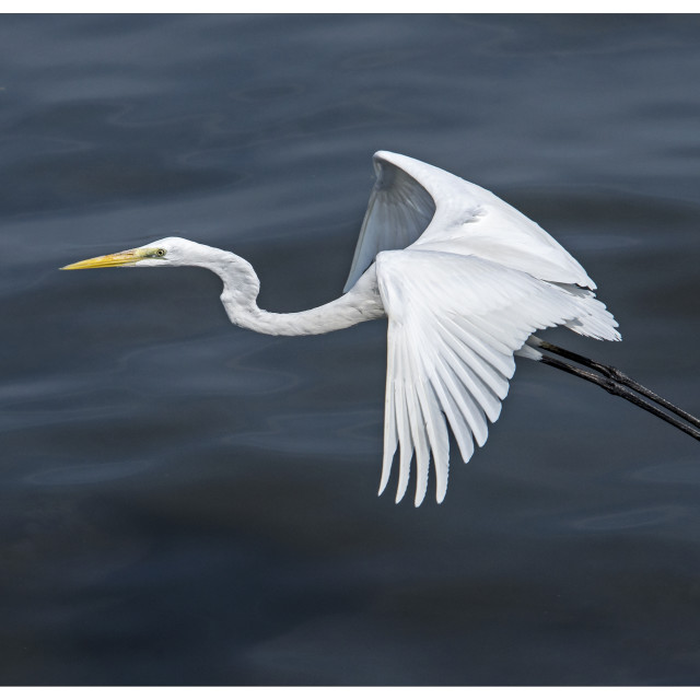 """Great Egret (Ardea Alba) (VII)"" stock image"
