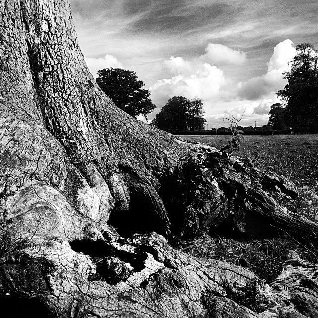 """Old Oak"" stock image"