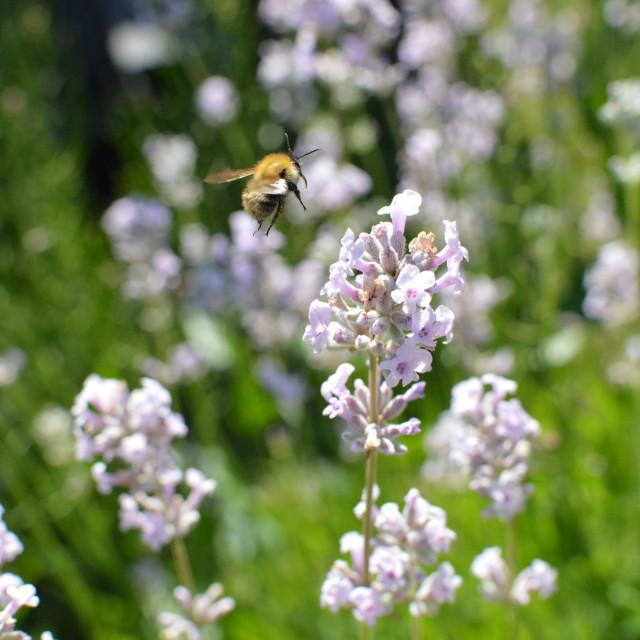 """Lavender Bee"" stock image"