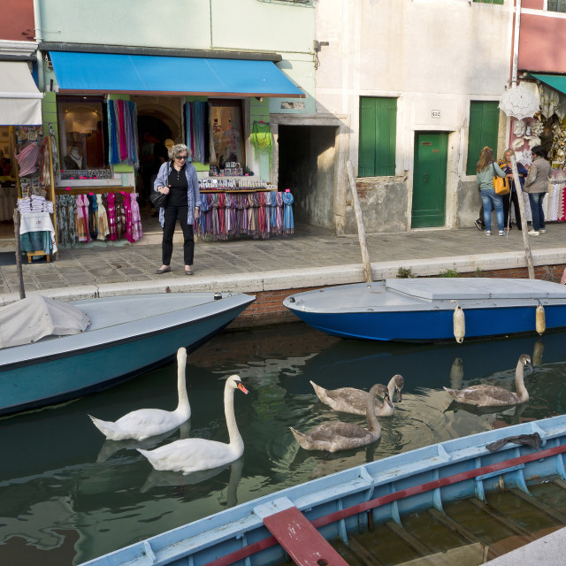 """""""Swans in Burano"""" stock image"""