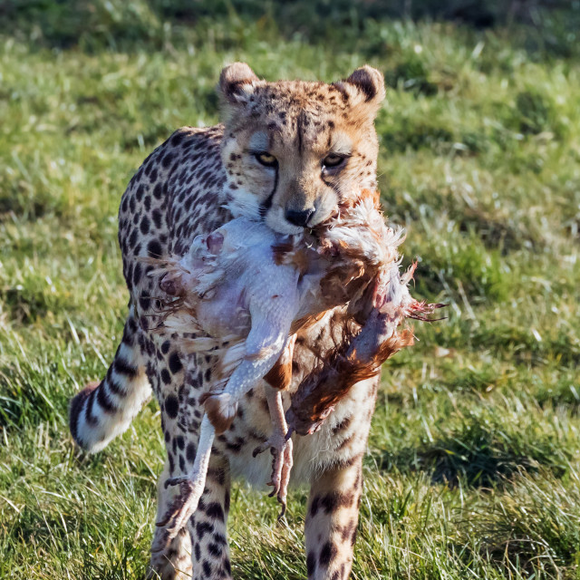 """Cheetah carrying its lunch"" stock image"