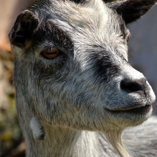 """""""Goat"""" stock image"""