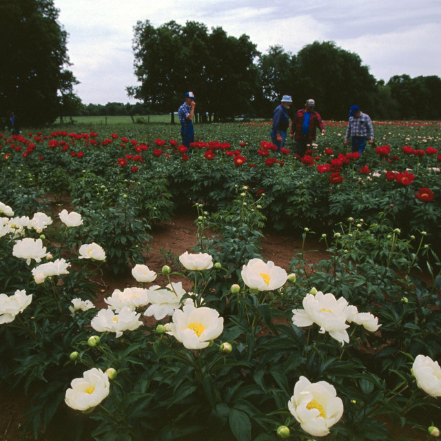 """Peonie Flower Farm Sarcoxie, Missouri"" stock image"