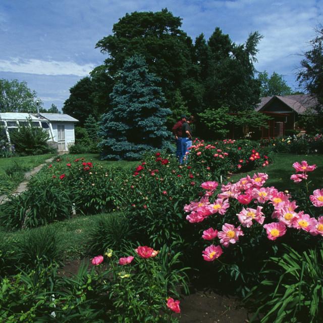 """Peonie Flower Farm Sarcoxie, Missouri"" stock image"