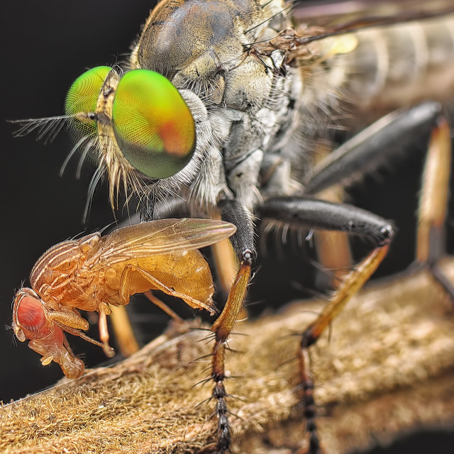 """""""robberfly"""" stock image"""