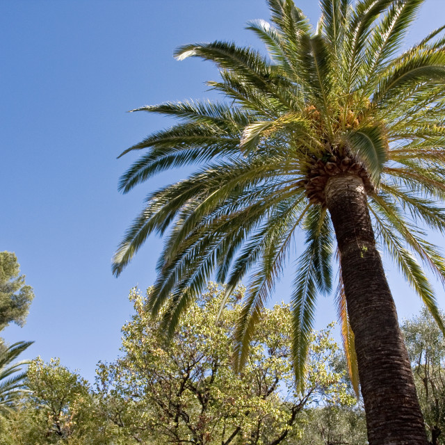 """""""Palms and Olive Tree"""" stock image"""
