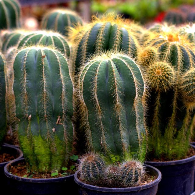 """Cactus in a pot"" stock image"