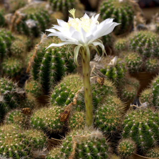 """Cactus with white flower"" stock image"