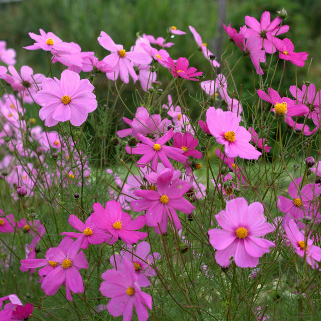 """""""Pink Cosmos"""" stock image"""