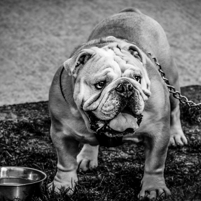 """Bulldog needing a drink"" stock image"
