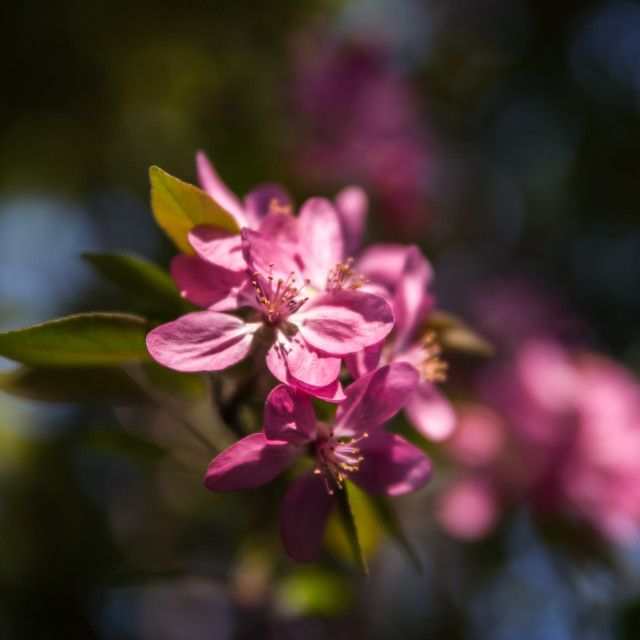 """Pink apple tree flowers"" stock image"