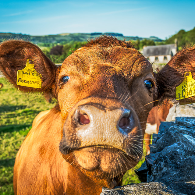 """""""Rock Star Cow"""" stock image"""