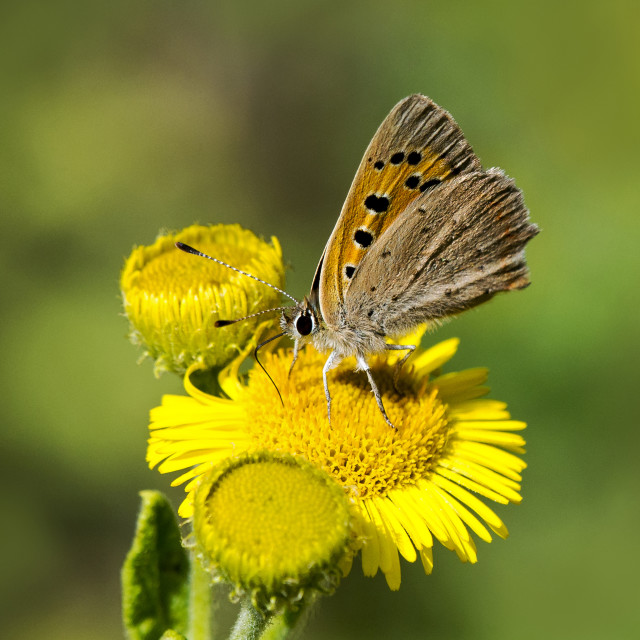 """Small Copper (Lycaena phlaes)"" stock image"