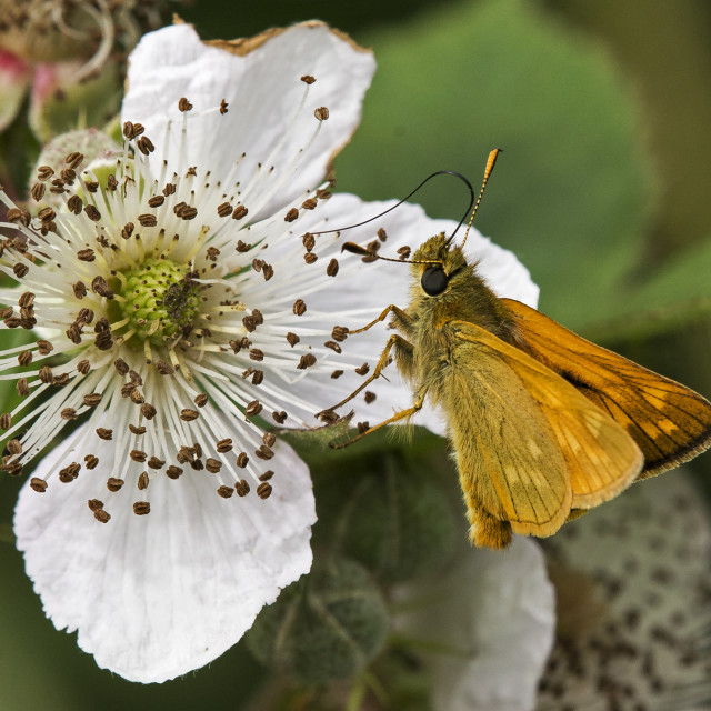 """Small Skipper (Thymelicus lineola)"" stock image"