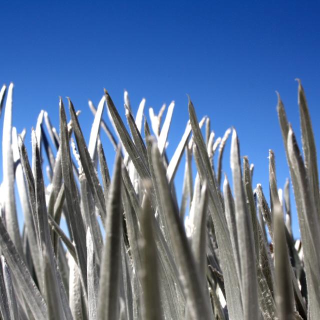 """Silversword plant on Mauna Kea, Hawaii, USA"" stock image"