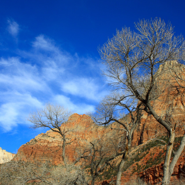 """""""Pinyon pine tress and blue skies in Zion National Park, Utah, USA [United States of America]"""" stock image"""