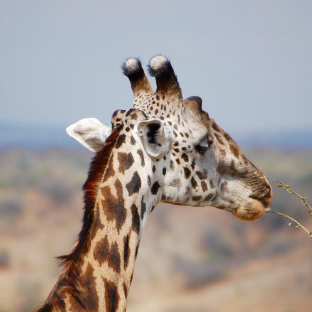 """A giraffe chews on a baobab leaf in the Serengeti, Tanzania"" stock image"