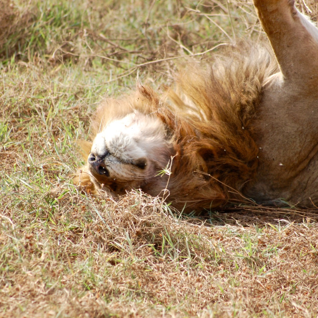 """""""Male lion plays in the grass after feeding, Serengeti National Park, Tanzania"""" stock image"""