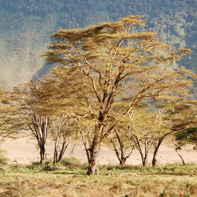 """A Baobab Tree in Tarangire National Park, Tanzania"" stock image"