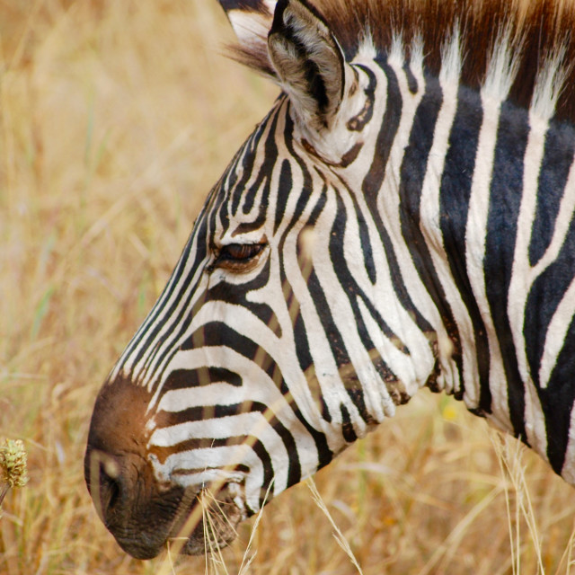 """Zebra profile in Serengeti National Park, Tanzania, Africa"" stock image"