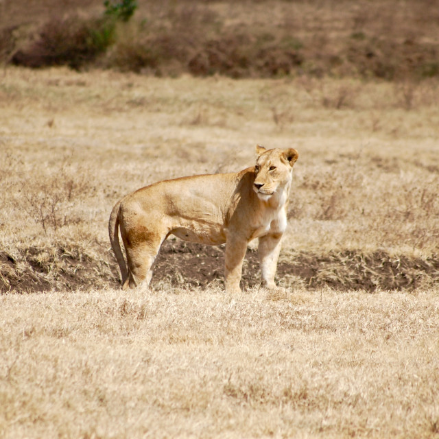 """Lioness looks back across the plains, Serengeti National Park, Tanzania"" stock image"