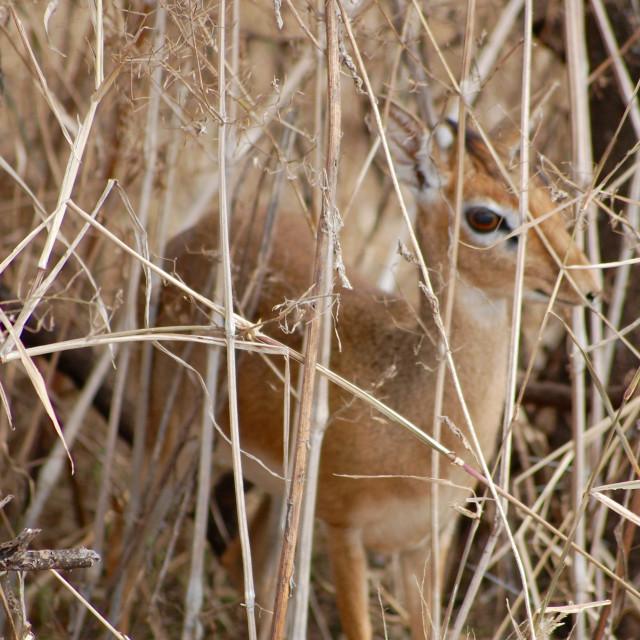 """A dik-dik (small antelope) hides behind some long grass in Serengeti National Park in Tanzania"" stock image"