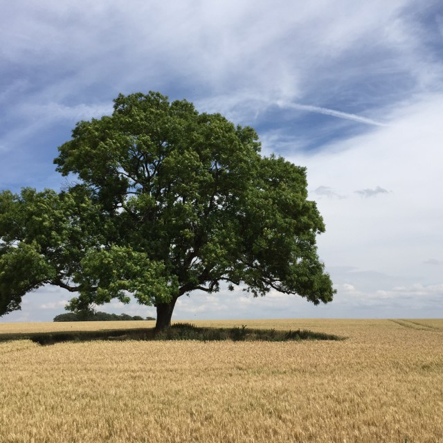 """Oak Tree in a Wheat Field"" stock image"