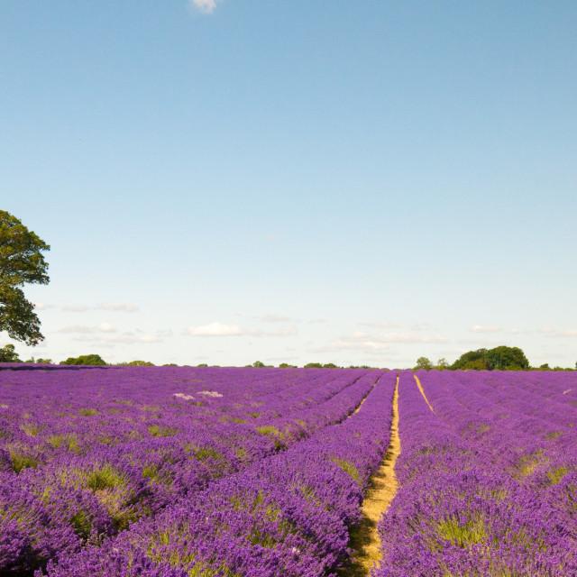 """Lavender Fields UK"" stock image"